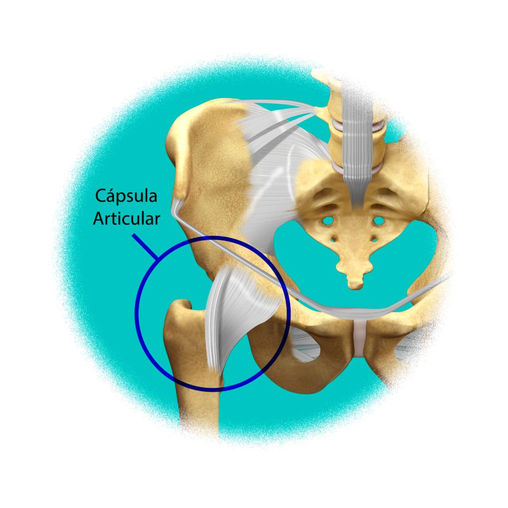 Articulación de la cadera con cápsula articular